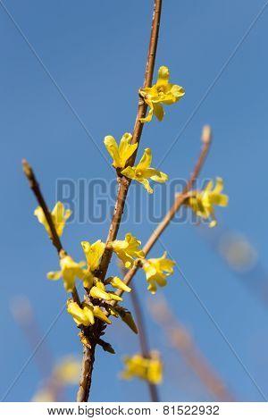 Blooming Yellow Forsythia