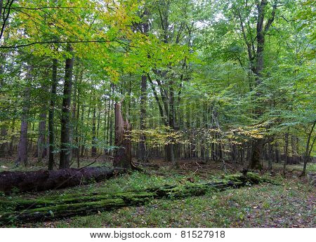 Trees In Natural Stand Of Bialowieza Forest
