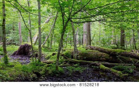 Old Moss Wrapped Ash Tree Lying In Natural Deciduous Stand