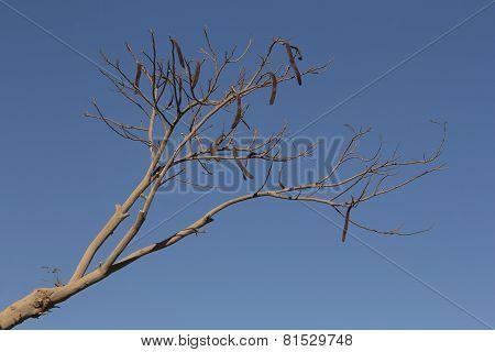 Locust Bean Tree