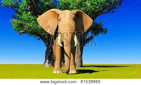 Single elephant standing next to baobabs