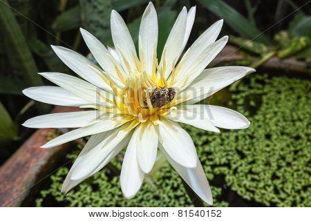 Bug Is Drinking The Juice Of Lotus Pollen