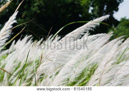 Beibng Blown Reeds