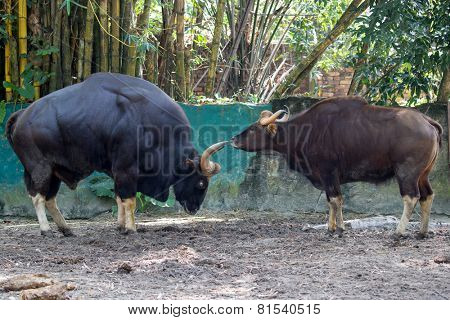 Indian gaur, pair; male on left