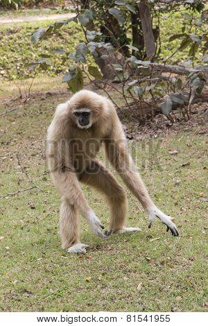 Lar gibbon, naughty animal