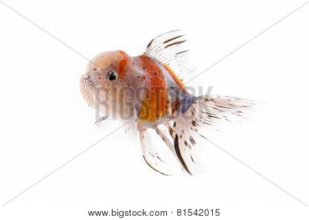 Golden Fish Isolated On White Background.
