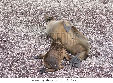 Baby Galapagos Sea Lion Nursing