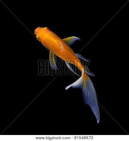 Gold Fish Isolated On Blac