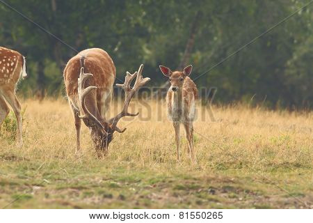 Herd Of Fallow Deers In Clearing