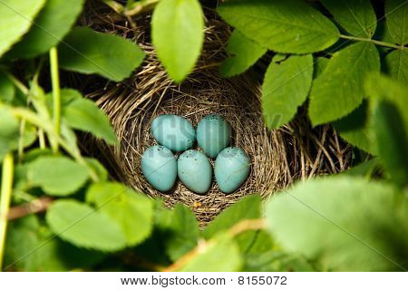 Carpodacus Erythrinus, Common Rosefinch. Nest Of A Bird.