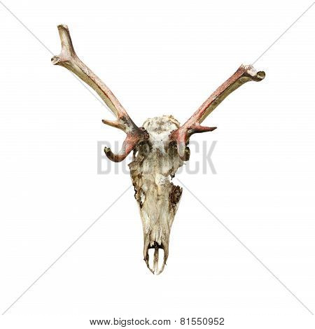 Skull Of Red Deer Eaten By Wolfes