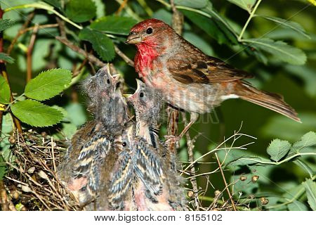 Carpodacus Erythrinus, Common Rosefinch, Male
