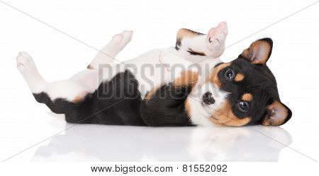 adorable basenji puppy lying on his back