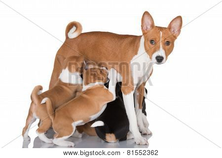 basenji dog feeding puppies