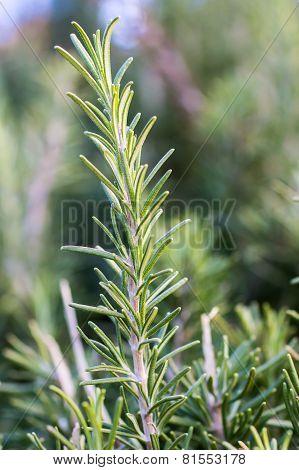 Closeup Of A Rosemary Plant