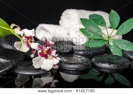 Spa Concept Of Orchid Cambria Flower, Green Leaf Shefler With Drops And White Towels On Zen Stones I