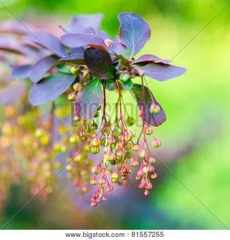Beautiful Blooming Twig Of European Barberry ( Ottawensis Superba ) On Blur Background