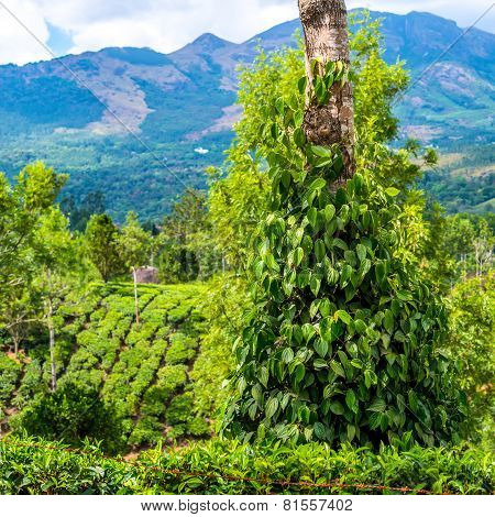Fresh Green Leaves Pepper (piper Nigrum) Growing On The Tree Tea Plantation In India, Kerala