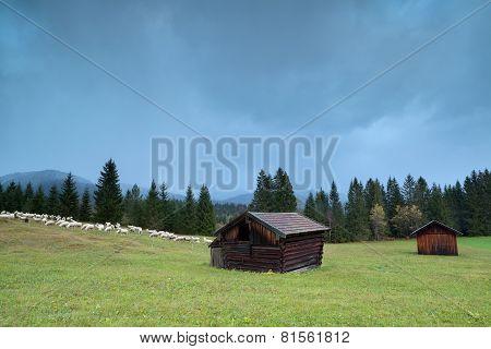 Sheep On Alpine Meadow