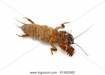 Mole cricket isolated