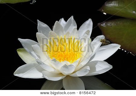 White Water Lily Blossom, Nymphaeaceae