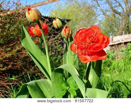 Bush Of Beautiful Red Tulips