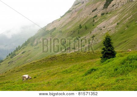 Cattle That Graze In The Mountains