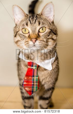 Tiger Cat In A Necktie