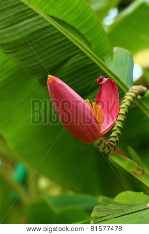 Banana Ornamental, Flower Of Banana