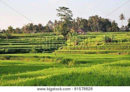 Stepped rice terraces near Ubud, Bali, Indonesia