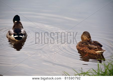 Two Ducks Swimming On The Water