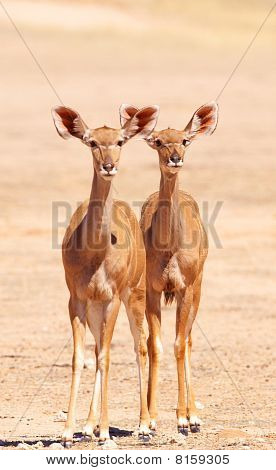 Group Of Kudu (tragelaphus Strepsiceros)