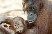 stock photo of orangutan  - Orangutan mother with her child - JPG