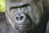 stock photo of face-fungus  - Severe face of a silverback family leader - JPG