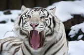 stock photo of dangerous  - Closeup portrait of yawning white bengal tiger on snow background - JPG