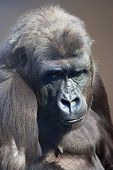 pic of gorilla  - A young gorilla female with low state in the monkey family on blur background - JPG