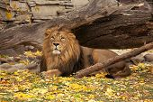 stock photo of predator  - A full length portrait of a young Asian lion lying on autumn background - JPG