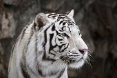 stock photo of dangerous  - Closeup portrait of white bengal tiger on dark background - JPG