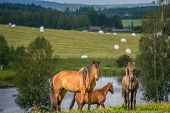 image of horse-breeding  - Three horses standing in field - JPG
