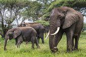 picture of sub-saharan  - African elephant in the Tarangire National Park Tanzania - JPG