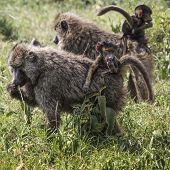foto of veld  - Baboon mother walking through the savannah with its baby on the backTarangire National Park - Wildlife Reserve in Tanzania Africa.