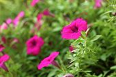 stock photo of petunia  - The pink petunias flowers in garden home - JPG