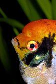 pic of angelfish  - Detailed orange head of angelfish in the aquarum - JPG