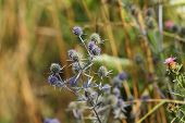 stock photo of holly  - wild flat sea holly closeup growing on a meadow - JPG