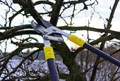 picture of prunes  - pruning apple tree in the early spring - JPG