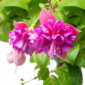 pic of pompous  - blossoming beautiful branch of delicate colorful fuchsia isolated on white background  - JPG