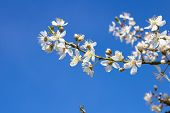 picture of cherries  - a sunny day in spring bloom cherry on the tree - JPG