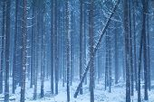 stock photo of coniferous forest  - misty snowy coniferous forest in Bavaria Alps - JPG