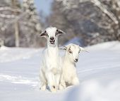 stock photo of baby goat  - Two white baby goats looking at the camera outdoors - JPG