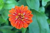 stock photo of zinnias  - orange zinnia (aster family) in garden under sunny